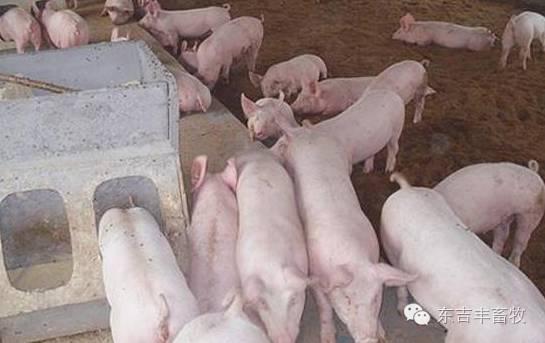 夏季养猪不赚钱?看这几点有没有做到! 养猪知识
